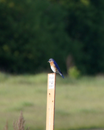 Blue bird, Rice Creek Preserve, Shoreview, Minnesota
